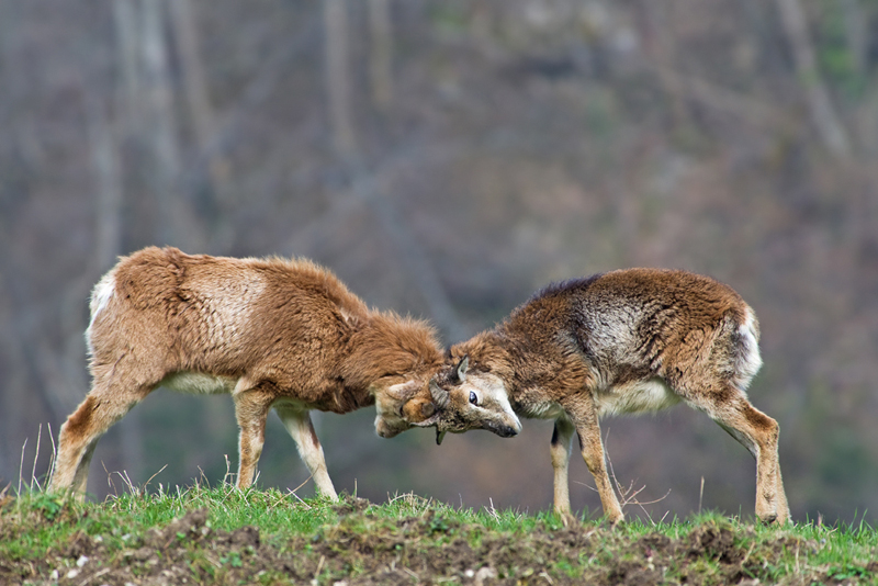 mouflon_chartreuse