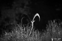 bouquetin noir et blanc