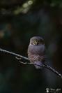 Pigmy owl