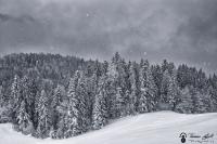 les sapins de chartreuse sous la neige