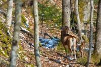 1-Mouflone et son petit
