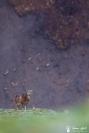 10-mouflone