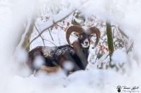 14-Mouflon dans la neige