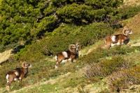 18-Mouflons dans les alpages de chartreuse