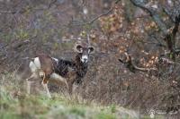 15-Mouflon aveugle