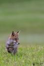 Portrait d'un renard