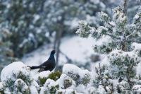 tétras lyre en hiver
