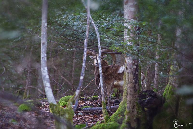 mouflon chartreuse
