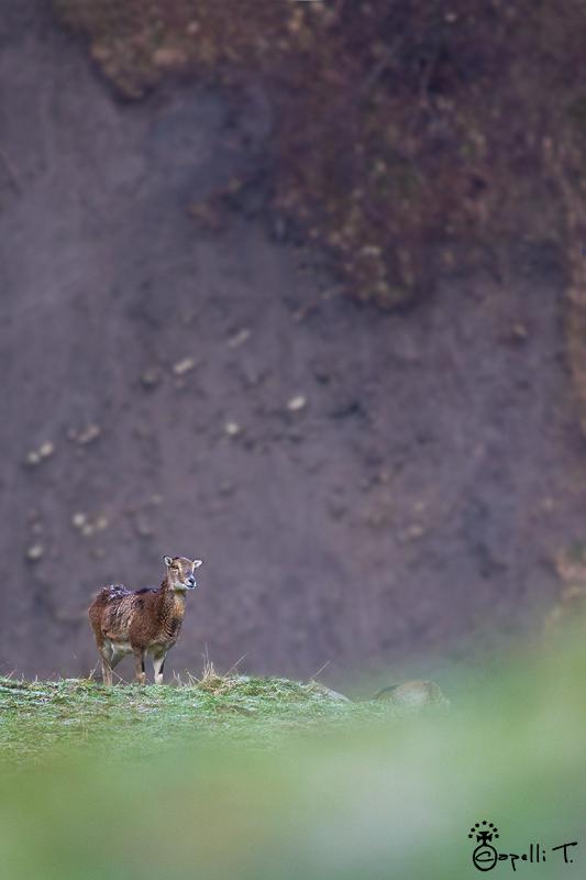 mouflone chartreuse