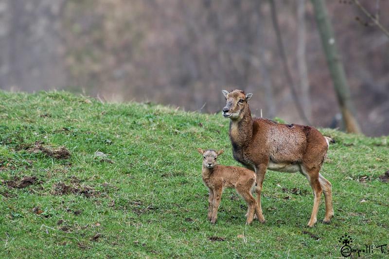 Mouflone et son agneau