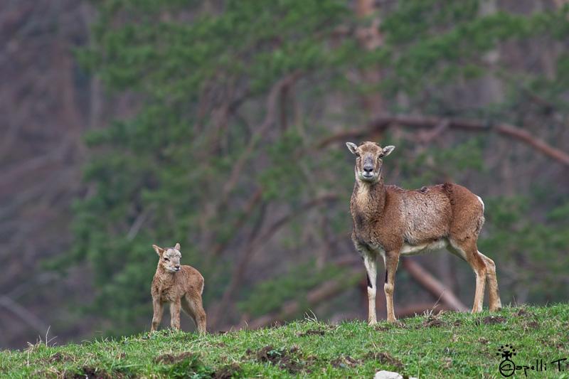 mouflone et son petit