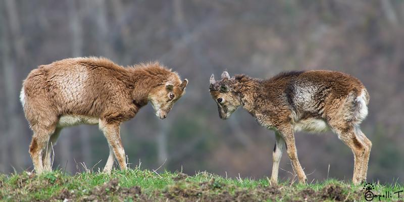 combat mouflons