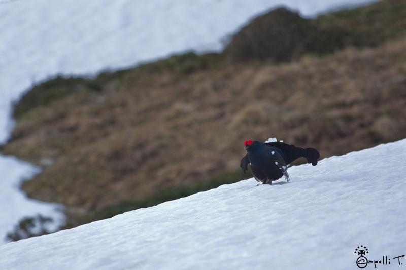 Tétras Lyre dans la neige