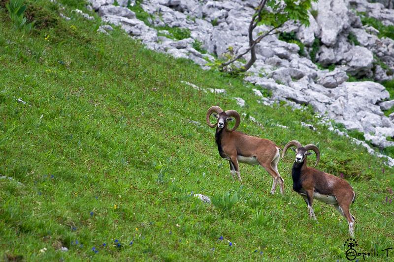 Mouflons Alpages