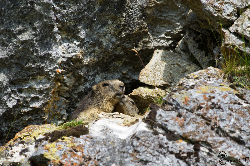 Marmotte bisous