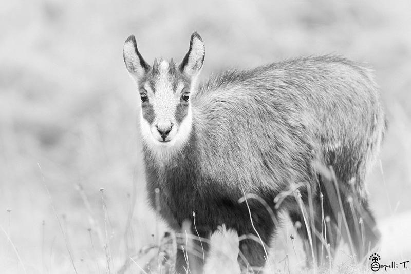 regard dd'un jeune chamois de chartreuse