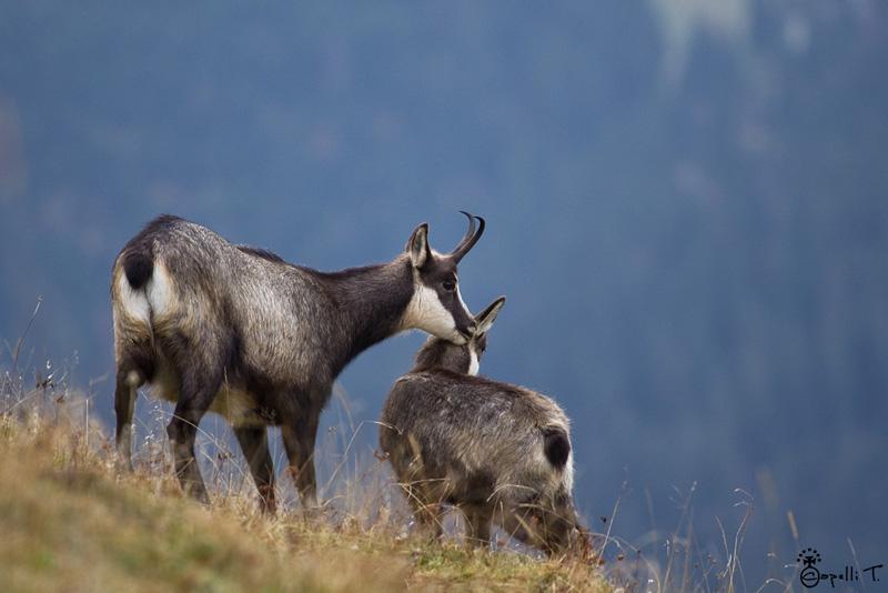 calin entre une chèvre et un cabris de chamois
