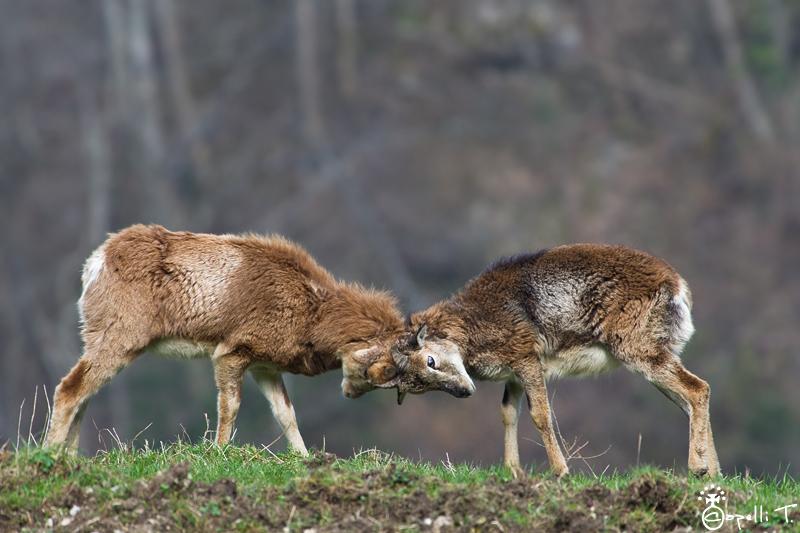 combat entre deux jeunes males mouflons en chartreuse.