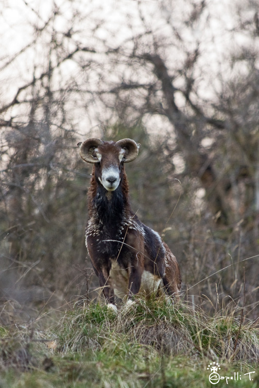 photographie d'un moufon de chartreuse aveugle car ses cornes ont mal pousées