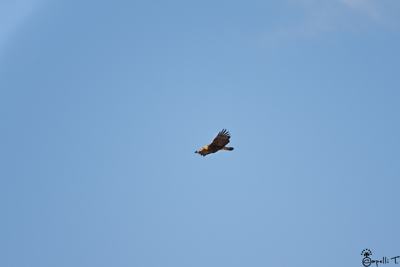 Aigle royal dans le parc naturel régional de chartreuse