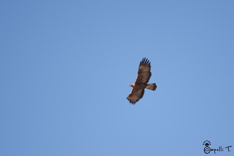 Aigle Royal dans le massif de la chartreuse