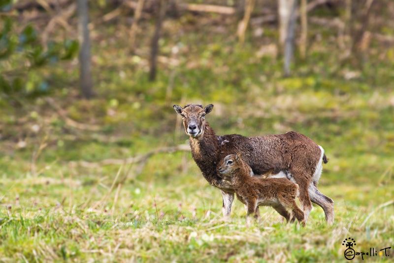 naissance des mouflons dans le parc naturel régional de chartreuse