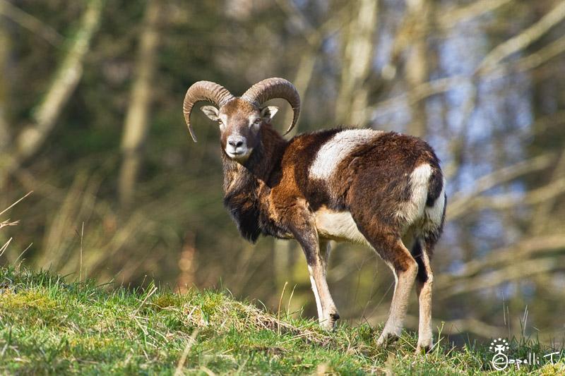 Jeune mouflons dans le parc naturel régional de chartreuse
