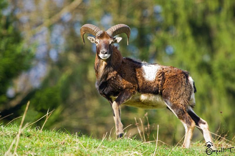 jeune mouflon mâle qui prend la pose