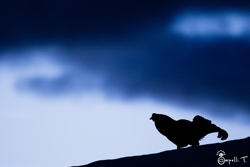 tétras lyre en pleine nuit