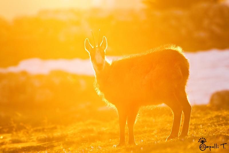 Chamois dnas la lumière du coucher du soleil - thomas capelli