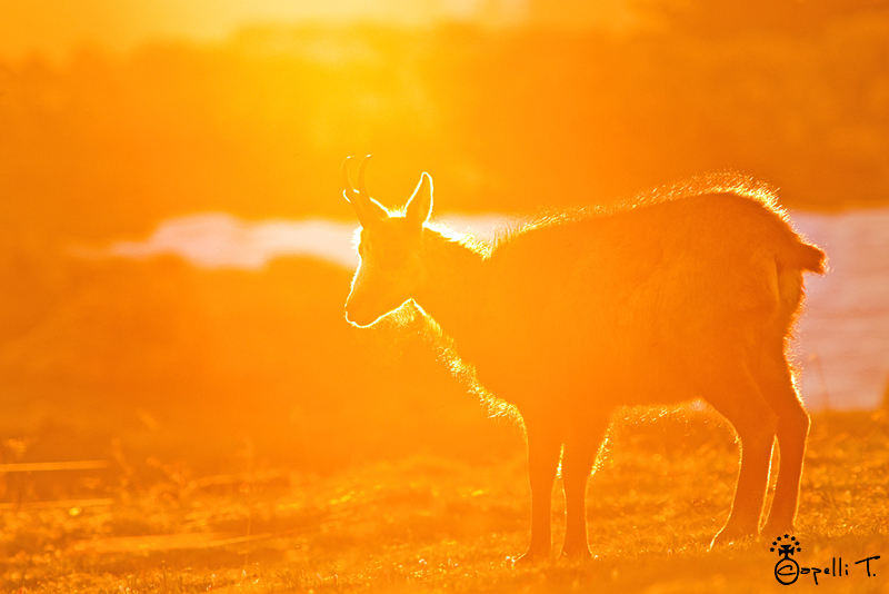 chamois dans la lumière du coucher du soleil - thomas capelli