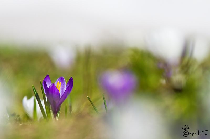 Crocus au printemps dans les alpages de chartreuse - Thomas CAPELLI