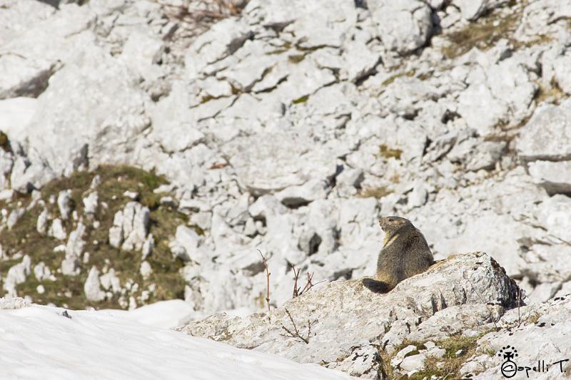 Sortie des marmottes après l'hibernation