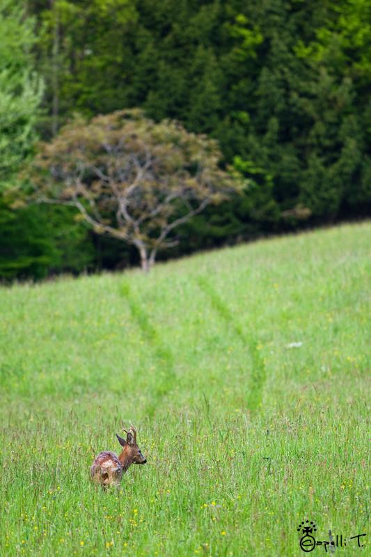 Portrait d'un chevreuil dans un pré - Thomas CAPELLI