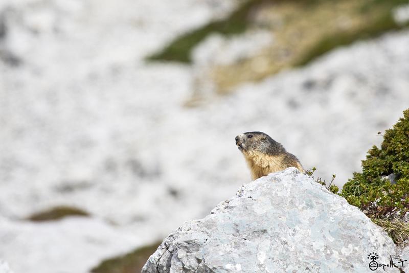 3-marmotte