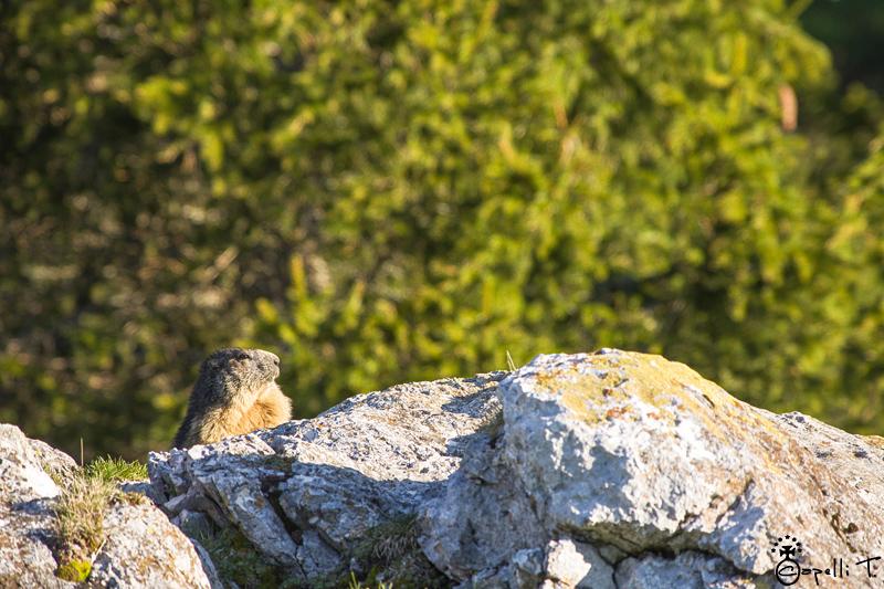 Marmottes en chartreuse - Thomas CAPELLI