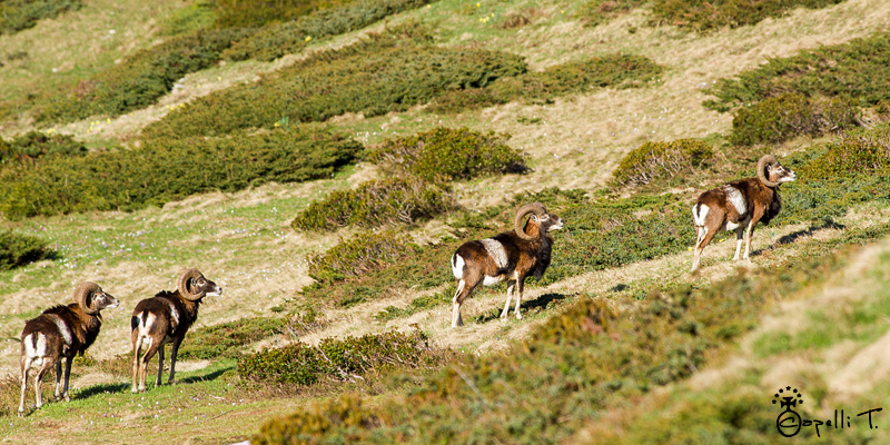 mouflons dans les alpages de chartreuse - Thomas CAPELLI