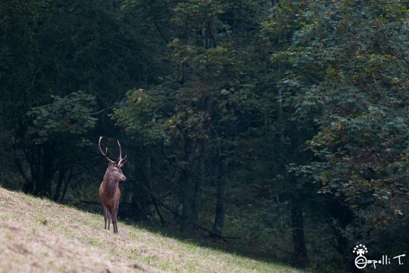 Brame du cerf en chartreuse  - Thomas Capelli