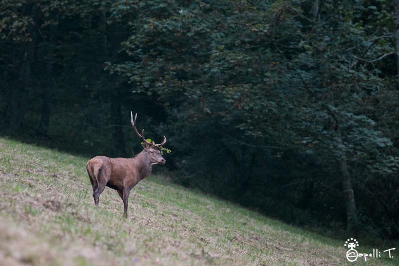 Cerf elaphe - parc naturel régional de la chartreuse - Thomas Capelli