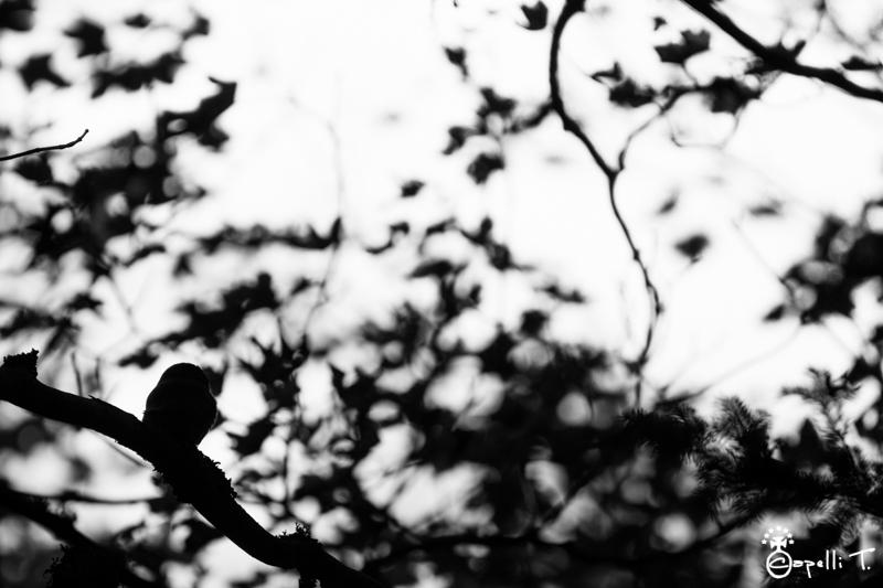 petite chouette de montagne - Thomas Capelli