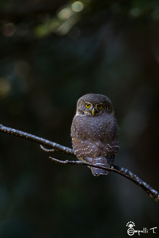 Petite chevêchette d'europe dans les forêts de chartreuse - Thomas capelli