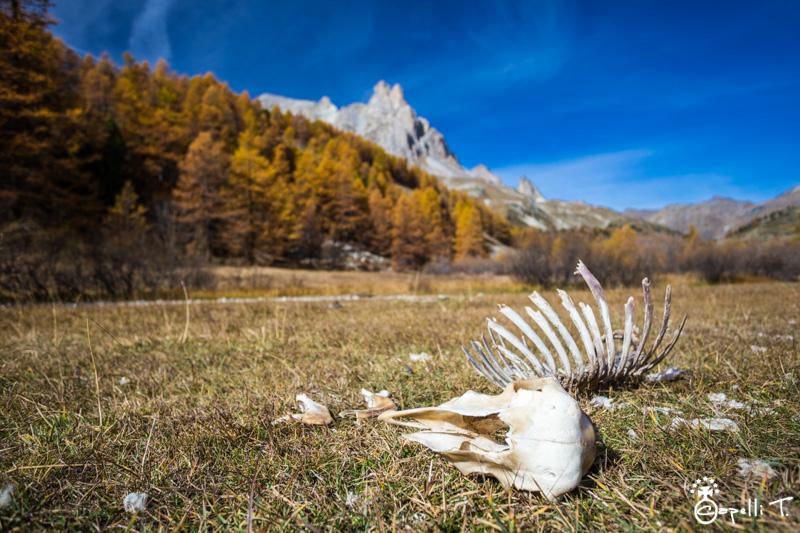 Squelette de moutons vallee de la clarée - Thomas Capelli