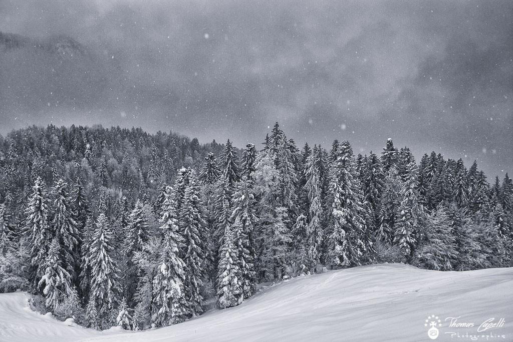 Les sapins de chartreuse sous la neige - Thomas Capelli
