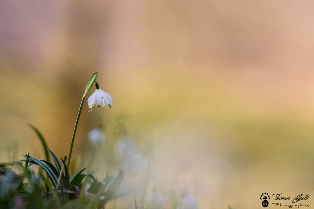 Flroe chartreuse - Thomas Capelli
