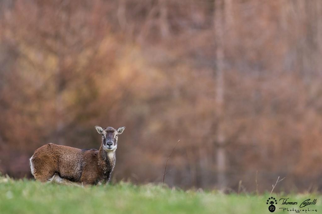 mouflon dans une clairière de chartreuse - Thomas Capelli