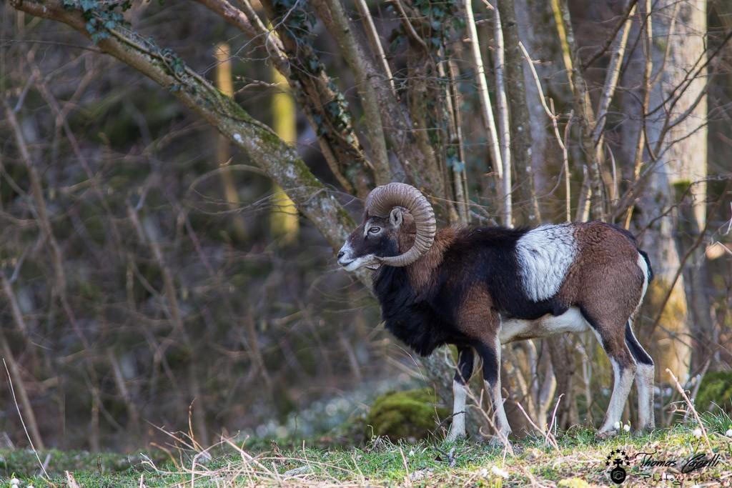 Gros mouflon belier de chartreuse - Thomas Capelli