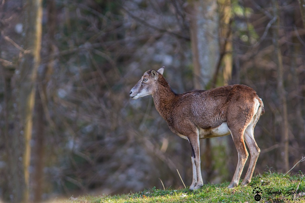 Mouflone au printemps dans le parc naturel régional de chartreuse - Thomas Capelli