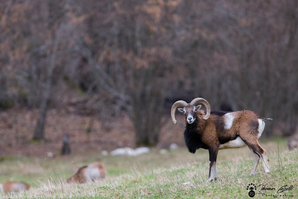 Mouflon - Thomas Capelli