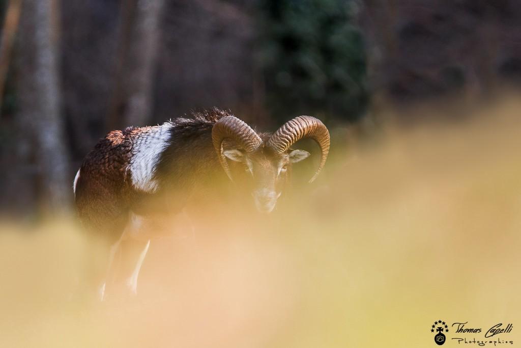 Mouflon méditerranéen en chartreuse - Thomas Capelli