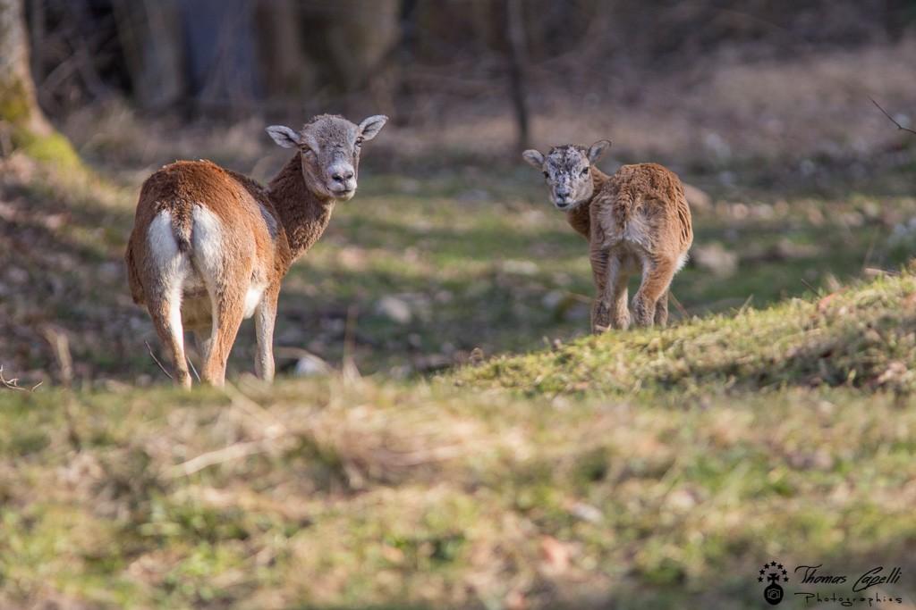 Mouflone et son petit dans la vallée du guiers en chartreuse - Thomas Capelli